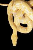 Tiger Albino Python snake Stock Image