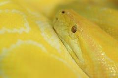 Tiger albino python snake Stock Photos