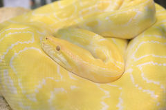 Tiger albino python snake Stock Photo