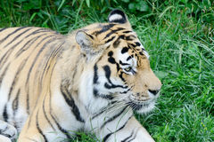 Tiger alert Royalty Free Stock Image