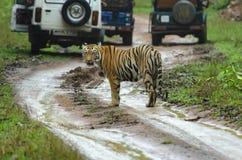 Tiger amidst safari vehicles, Tadoba, Maharashtra, India royalty free stock images