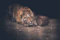 Tiger. The Amur tiger crouched on the hunt Stock Photo