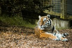 Tiger Amur looking at the right side in a zoo. The largest in length and the heaviest of all cats, Amur tigers also have the thickest fur to protect them from Stock Images