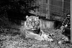 Tiger Amur looking straight at the lens Black and WHite. The largest in length and the heaviest of all cats, Amur tigers also have the thickest fur to protect Stock Images
