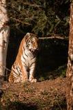 Tiger Amur mit offenem Mund und Zunge haften heraus Stockfotos
