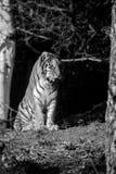 Tiger Amur mit offenem Mund und Zunge haften heraus Lizenzfreies Stockbild