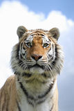 Tiger. Amur tiger at a wildlife centre Royalty Free Stock Photo