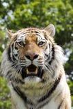 Tiger. Amur tiger at a wildlife centre Stock Photo
