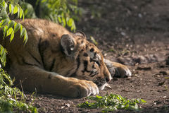 Tiger. Amur tiger at a wildlife centre Stock Photography