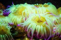 Tiger Anemone Nemanthus annamensis amazing colorful sea creatures underwater. Incredible natural background. Tiger Anemone Nemanthus annamensis amazing colorful stock photo
