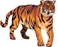 Tiger angry. Angry Tiger yellow and black Royalty Free Stock Photography