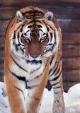 Tiger angry looking at camera Stock Photography