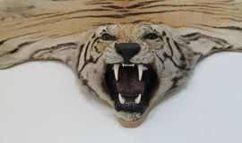 Tiger Animal. The Head and Skin of a Trophy Tiger Animal Stock Photos