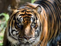Tiger at animal reserve Royalty Free Stock Photos