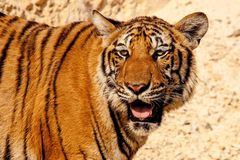 Tiger, Animal, Wild, Wildlife Stock Image