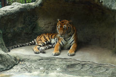Tiger is animal in the zoo. Tiger is animal in the zoo, this is mammals Stock Images