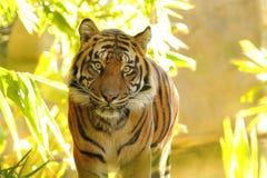Tiger Approaching stock fotografie