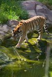 Tiger approaching a pond. Tiger, Apple Valley Zoo, Minnesota Royalty Free Stock Image
