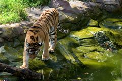 Tiger approaching the water. Tiger, Apple Valley Zoo, Minnesota Stock Photos