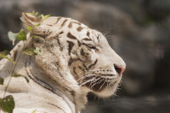 Tiger as background Royalty Free Stock Photography
