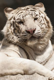 Tiger as background Royalty Free Stock Images
