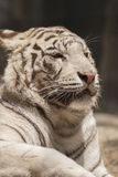 Tiger as background Royalty Free Stock Image