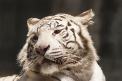 Tiger as background Royalty Free Stock Photos