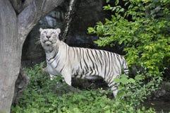 Tiger asiat (pantheraen tigris) royaltyfri foto