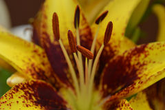 Tiger Asiatic Lily Stamen Stock Photography