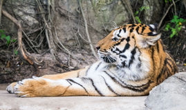 Tiger asleep Royalty Free Stock Images