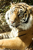 Tiger Aspect Stock Photography