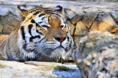 Tiger attack Stock Photography