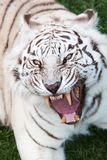 Tiger attack Royalty Free Stock Photography