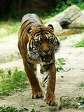 Tiger before attack Stock Photography
