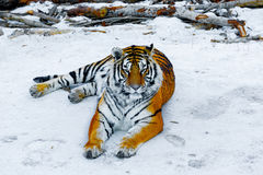 Tiger auf der Straße Stockfoto