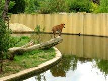 Tiger auf einem Klotz lizenzfreie stockfotos
