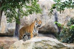 Tiger auf Felsen stockfoto