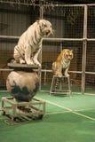 Tiger auf Plattformen Stockbild