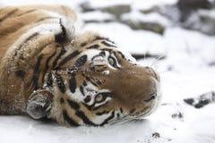 Tiger auf Schnee Lizenzfreie Stockfotos
