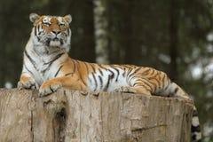 Tiger av Indien Arkivbilder