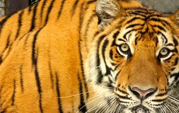 Tiger av Thailand royaltyfri foto