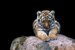 Tiger Baby Photo libre de droits