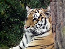 Tiger on a background of green leaves. A large striped cat proudly looks into the distance against the background of green leaves in the zoo stock photography
