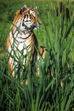 Tiger bak Bulrushes Royaltyfria Bilder