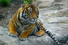 Tiger balanciert, um sich zu stürzen Lizenzfreie Stockfotos