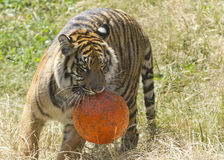 Tiger with ball. A tiger at the point defiance zoo plays with a ball royalty free stock image