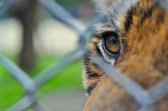 Tiger in the baluster cage Royalty Free Stock Photo