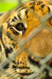 Tiger in the baluster cage Stock Images