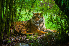 Tiger in Bamboo forest. A tiger opening mouth is sitting in a bamboo forest, staring at its prey Stock Images