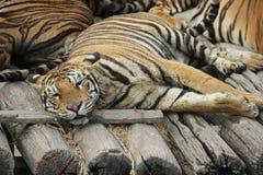 Tiger in Bangkok safari zoo. Resting tiger, Safari zoo, Bangkok Royalty Free Stock Photography